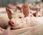 Zarada kroz uštedu u tovu svinja