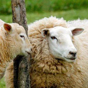 Ovce i jagnjad