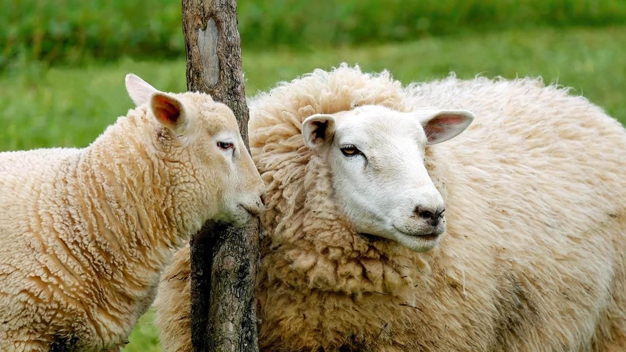 Hrana produkt tov ovaca stočna hrana premiks koncetrat