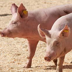 Fattening pigs