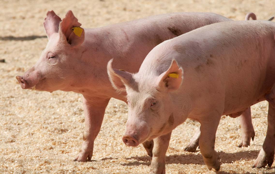 Hrana produkt tov svinja stočna hrana premiks koncetrat